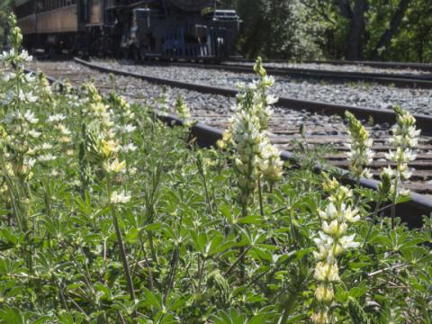 April's Wildflower Train pulls through Gold Country in Jamestown