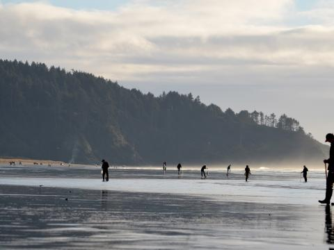 Searching the beach for razor clams during the Long Beach Razor Clam Festival